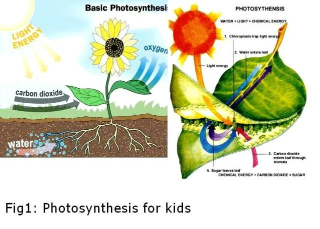 diagram of the process of photosynthesis photo album   diagrams