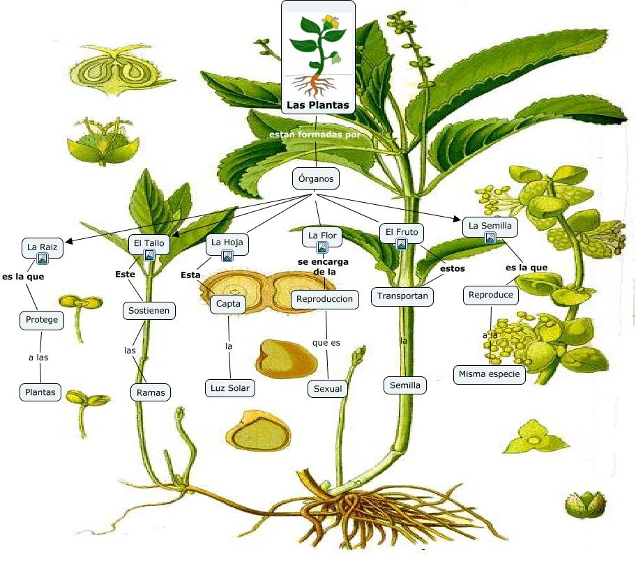 Las plantas cmap cuales son los organos de las plantas - Cuales son las plantas con flores ...
