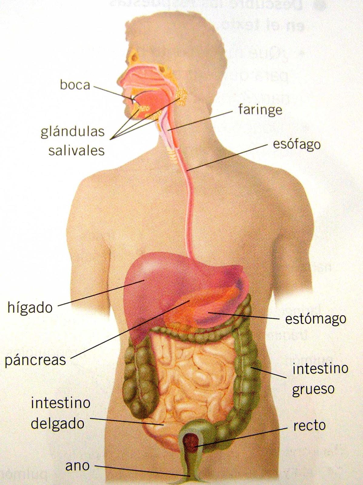Contemporáneo Imagen De Los órganos En El Cuerpo Colección ...